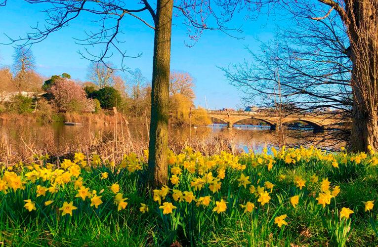Daffodils, las trompetas que anuncian la primavera